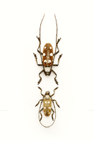 Longhorn Beetle, Beetle, Insect, Coleoptera