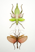 Stick Insect, Beetle, Insect, Coleoptera