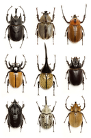 Beetle, Insect, Coleoptera