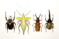 Longhorn Beetle, Scarab Beetle, Stick Insect, Beetle, Insect