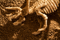 Triceratops skeleton lying on soil