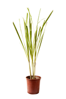 Lemon Grass, Plant,