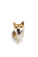 Shiba Inu, Dog