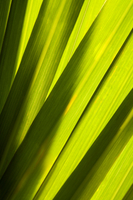Lemon Grass, Plant,