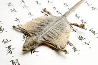 Gecko, Gecko, Chinese Herbal Medicine