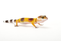 Gecko, Leopard Gecko