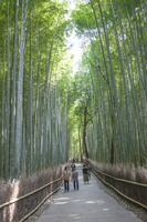 Bamboo Grove, Kyoto Prefecture, Japan, Asia,
