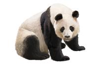 Bear, Panda, Animal,