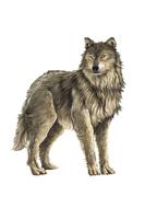 Wolf, Animal,