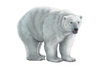 Bear, Polar Bear, Animal,