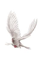 Pigeon, Dove, Animal,
