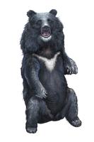 Bear, Black Bear, Animal,