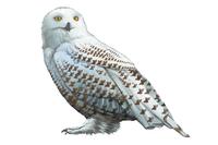 Owl, Animal,