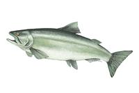 Salmon, Animal,