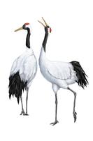 Crane, Animal,