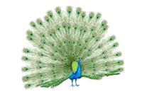 Peacock, Animal,