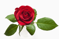 Rose, Red Rose, Flower,