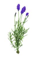 Illustration Technique, Chinese Herbal Medicine, Lavender,