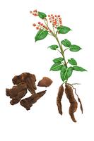 Illustration Technique, Chinese Herbal Medicine, Fallopia multiflora,