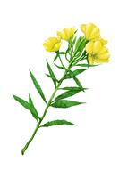 Illustration Technique, Chinese Herbal Medicine, Evening Primrose,