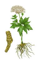 Illustration Technique, Chinese Herbal Medicine, Angelica,
