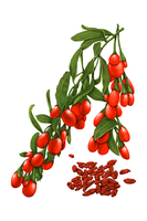 Illustration Technique, Chinese Herbal Medicine, Wolfberry,