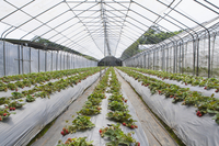 Strawberry, Agriculture,
