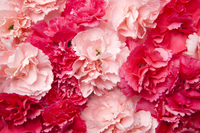 Carnation, Flower, Mother's Day,