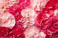 Carnation, Flower, Mother's Day, 11010050579| 写真素材・ストックフォト・画像・イラスト素材|アマナイメージズ
