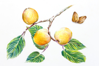 Almond, Chinese Herbal Medicine, Illustration Technique,