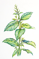 Peppermint, Chinese Herbal Medicine, Illustration Technique,