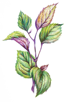 Shiso, Chinese Herbal Medicine, Illustration Technique,