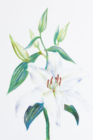 Lily, Chinese Herbal Medicine, Illustration Technique,