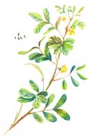 Chinese Herbal Medicine, Illustration Technique,