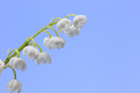 Lily-of-the-valley, Flower, Floral,