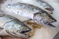 Salmon, Fish,