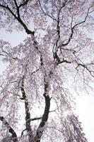 ネイチャー・春の花イメージ 11011001954| 写真素材・ストックフォト・画像・イラスト素材|アマナイメージズ