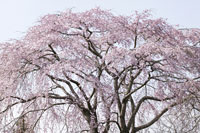 ネイチャー・春の花イメージ