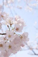 ネイチャー・春の花イメージ 11011002015| 写真素材・ストックフォト・画像・イラスト素材|アマナイメージズ