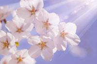 桜と青空 11011002953| 写真素材・ストックフォト・画像・イラスト素材|アマナイメージズ