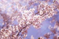 桜と青空 11011002962| 写真素材・ストックフォト・画像・イラスト素材|アマナイメージズ