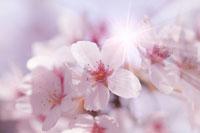 陽射しを受けた桜