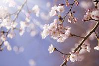 桜と青空 11011002993| 写真素材・ストックフォト・画像・イラスト素材|アマナイメージズ