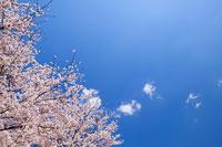 青空と桜 11011003630| 写真素材・ストックフォト・画像・イラスト素材|アマナイメージズ