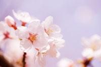 桜 11011003636| 写真素材・ストックフォト・画像・イラスト素材|アマナイメージズ
