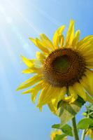 青空とひまわり 11011003724| 写真素材・ストックフォト・画像・イラスト素材|アマナイメージズ
