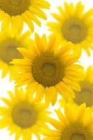 ひまわり 11011003730| 写真素材・ストックフォト・画像・イラスト素材|アマナイメージズ