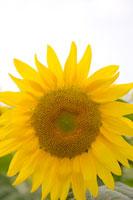 ひまわり 11011003733| 写真素材・ストックフォト・画像・イラスト素材|アマナイメージズ