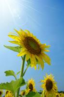 青空とひまわり 11011003735| 写真素材・ストックフォト・画像・イラスト素材|アマナイメージズ