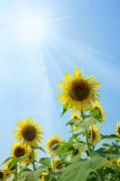青空とひまわり 11011003737| 写真素材・ストックフォト・画像・イラスト素材|アマナイメージズ